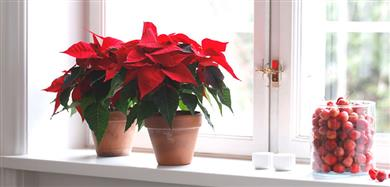 Julstjärnor i kruka i fönster