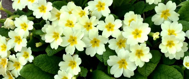 February Birth Flower